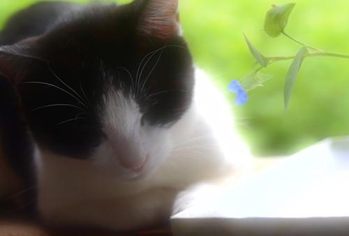 ・猫と露草.JPG