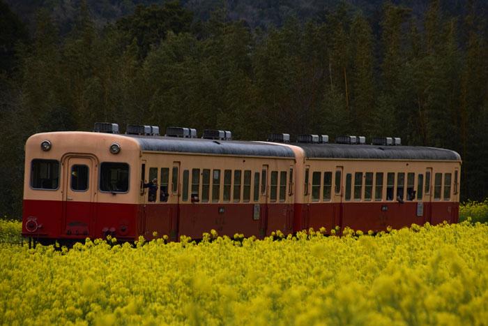 菜の花電車.jpg