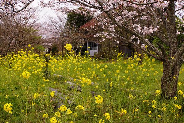 5月-菜の花の咲く頃-千葉-5.jpg