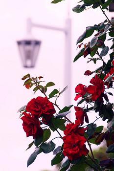 薔薇が咲いた!.jpg